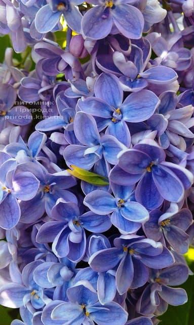 Сирень Президент Греви (Syringa President Grevy) ФОТО Питомник растений Природа (20)