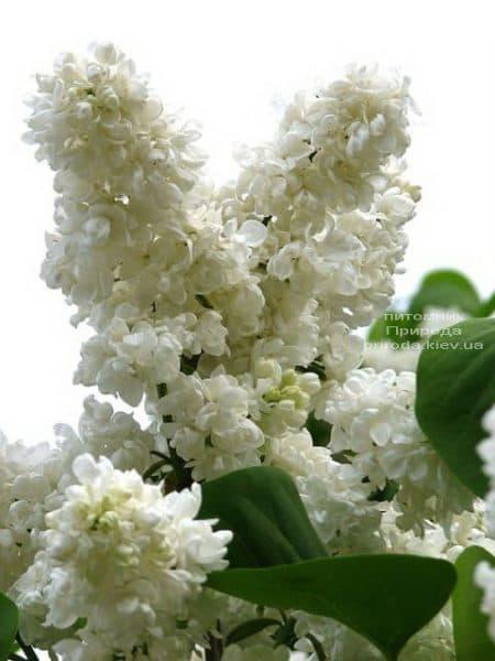 Бузок Принцеса Клементина (Syringa Princesse Clementine) ФОТО Розплідник рослин Природа