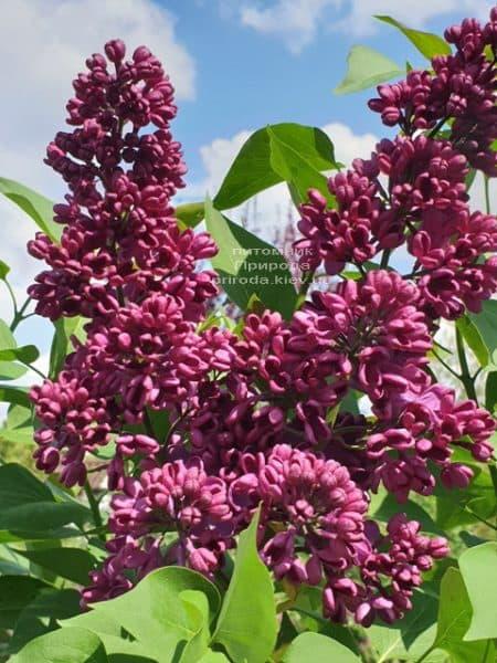 Бузок Прапор Леніна (Syringa vulgaris Znamja) ФОТО Розплідник рослин Природа (25)