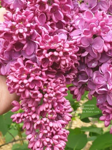 Сирень Знамя Ленина (Syringa vulgaris Znamja) ФОТО Питомник растений Природа (32)