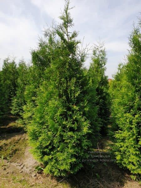 Туя западная Брабант (Thuja occidentalis Brabant) ФОТО Питомник растений Природа (79)