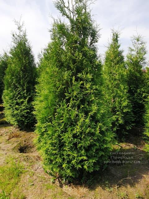 Туя западная Брабант (Thuja occidentalis Brabant) ФОТО Питомник растений Природа (80)