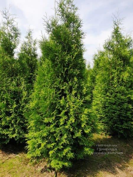 Туя західна Брабант (Thuja occidentalis Brabant) ФОТО Розплідник рослин Природа (81)