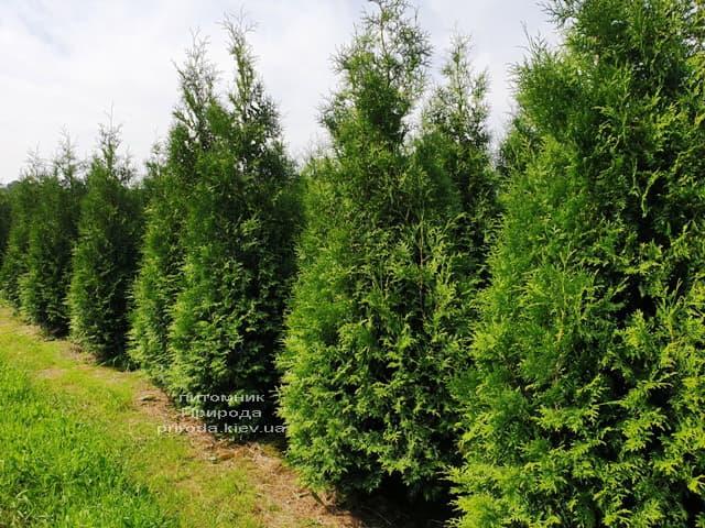 Туя західна Брабант (Thuja occidentalis Brabant) ФОТО Розплідник рослин Природа (82)