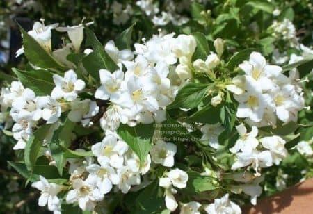 Вейгела цветущая Бристоль Сноуфлейк (Weigela florida Bristol Snowflake) ФОТО Питомник растений Природа (1)