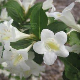 Вейгела цветущая Бристоль Сноуфлейк (Weigela florida Bristol Snowflake) ФОТО Питомник растений Природа (2)
