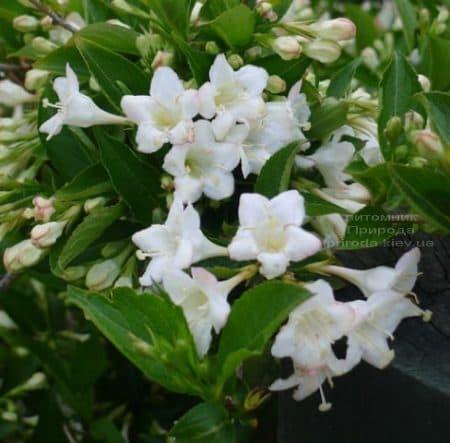 Вейгела цветущая Бристоль Сноуфлейк (Weigela florida Bristol Snowflake) ФОТО Питомник растений Природа (3)