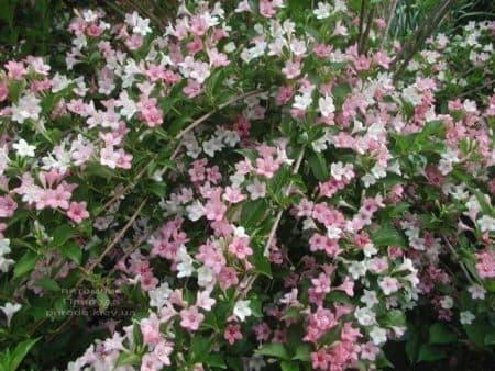 Вейгела цветущая Карнавал (Weigela florida Carnaval) ФОТО Питомник растений Природа (1)