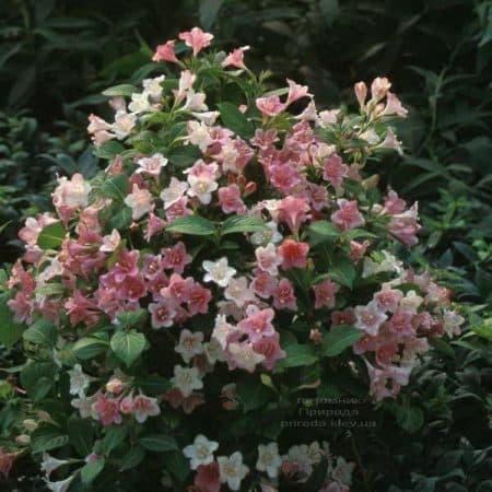 Вейгела цветущая Карнавал (Weigela florida Carnaval) ФОТО Питомник растений Природа (2)