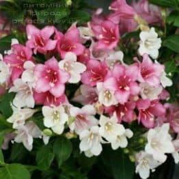 Вейгела квітуча Карнавал (Weigela florida Carnaval) ФОТО Розплідник рослин Природа (3)