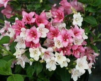 Вейгела цветущая Карнавал (Weigela florida Carnaval) ФОТО Питомник растений Природа (3)