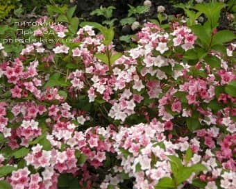 Вейгела цветущая Карнавал (Weigela florida Carnaval) ФОТО Питомник растений Природа (4)
