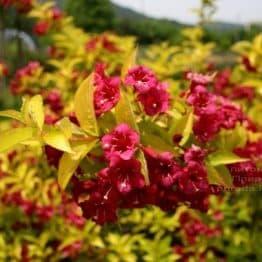 Вейгела цветущая Лоймансей Ауреа (Weigela florida Looymansii Aurea) ФОТО (2)