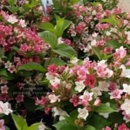 Вейгела квітуча Марджорі (Weigela florida Marjorie) ФОТО (1)
