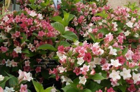 Вейгела цветущая Марджори (Weigela florida Marjorie) ФОТО (1)