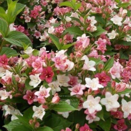 Вейгела цветущая Марджори (Weigela florida Marjorie) ФОТО (3)