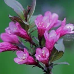 Вейгела квітуча Нана Пурпуреа (Weigela florida Nana Purpurea) ФОТО