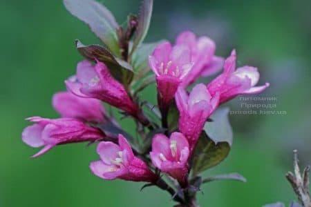 Вейгела цветущая Нана Пурпуреа (Weigela florida Nana Purpurea) ФОТО