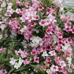 Вейгела цветущая Сплендид (Weigela florida Splendid) ФОТО