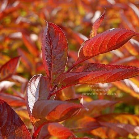 Вейгела цветущая Вингз оф Файер (Weigela florida Wings of Fire) ФОТО Питомник растений Природа (1)