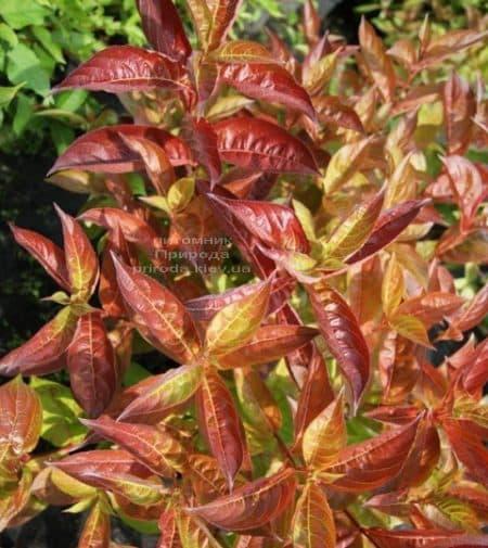 Вейгела цветущая Вингз оф Файер (Weigela florida Wings of Fire) ФОТО Питомник растений Природа (2)