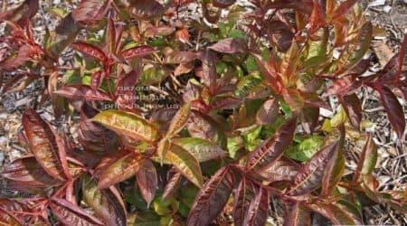 Вейгела цветущая Вингз оф Файер (Weigela florida Wings of Fire) ФОТО Питомник растений Природа (4)