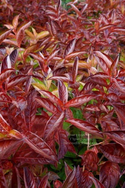 Вейгела цветущая Вингз оф Файер (Weigela florida Wings of Fire) ФОТО Питомник растений Природа (5)