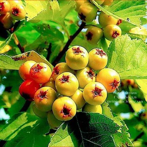 Боярышник желтоплодный (Crataegus) ФОТО Питомник растений Природа (1)
