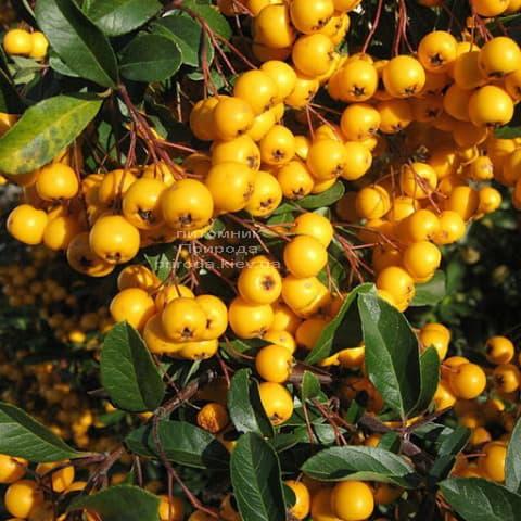 Боярышник желтоплодный (Crataegus) ФОТО Питомник растений Природа (2)