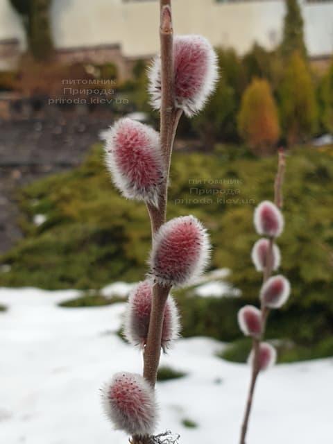 Ива тонкостолбиковая Маунт Асо (Salix gracilistyla Mount Aso) ФОТО Питомник растений Природа (1)