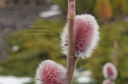 Ива тонкостолбиковая Маунт Асо (Salix gracilistyla Mount Aso) ФОТО Питомник растений Природа (2)