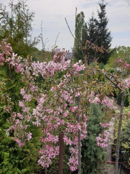 Яблоня райская декоративная Роял Бьюти (Malus Royal Beauty) плакучая на штамбе ФОТО Питомник растений Природа (5)