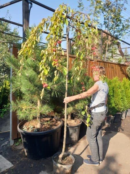 Яблоня райская декоративная Роял Бьюти (Malus Royal Beauty) плакучая на штамбе ФОТО Питомник растений Природа (6)