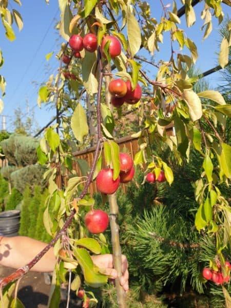 Яблоня райская декоративная Роял Бьюти (Malus Royal Beauty) плакучая на штамбе ФОТО Питомник растений Природа (8)