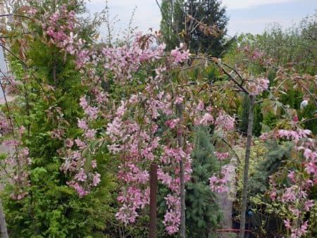 Яблоня райская декоративная Роял Бьюти (Malus Royal Beauty) плакучая на штамбе ФОТО Питомник растений Природа (9)