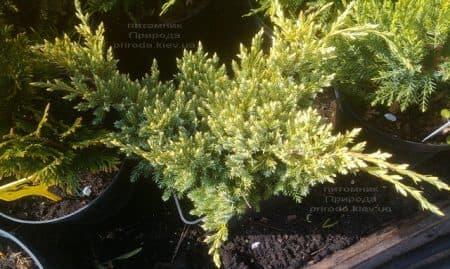 Можжевельник чешуйчатый Дрим Джой (Juniperus squamata Dream Joy) ФОТО Питомник растений Природа (1)