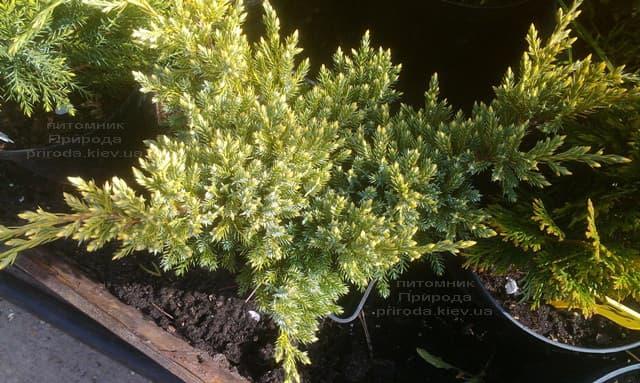 Можжевельник чешуйчатый Дрим Джой (Juniperus squamata Dream Joy) ФОТО Питомник растений Природа (2)