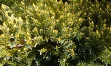 Можжевельник чешуйчатый Дрим Джой (Juniperus squamata Dream Joy) ФОТО Питомник растений Природа (3)