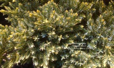 Можжевельник чешуйчатый Дрим Джой (Juniperus squamata Dream Joy) ФОТО Питомник растений Природа (4)