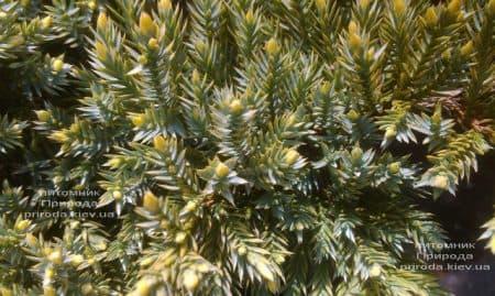 Можжевельник чешуйчатый Дрим Джой (Juniperus squamata Dream Joy) ФОТО Питомник растений Природа (5)