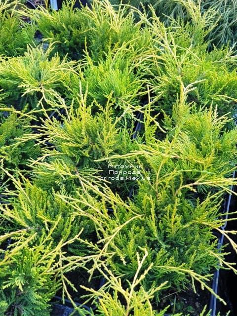 Можжевельник средний (пфитцериана) Голден Джой (Juniperus Golden Joy) ФОТО Питомник растений Природа (2)