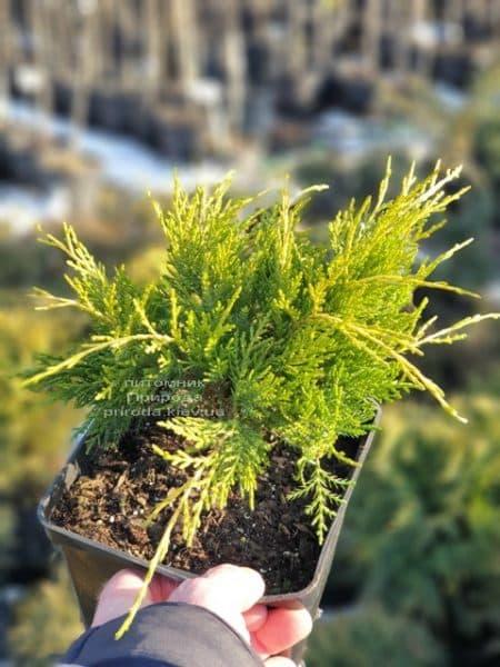 Можжевельник средний (пфитцериана) Голден Джой (Juniperus Golden Joy) ФОТО Питомник растений Природа (3)