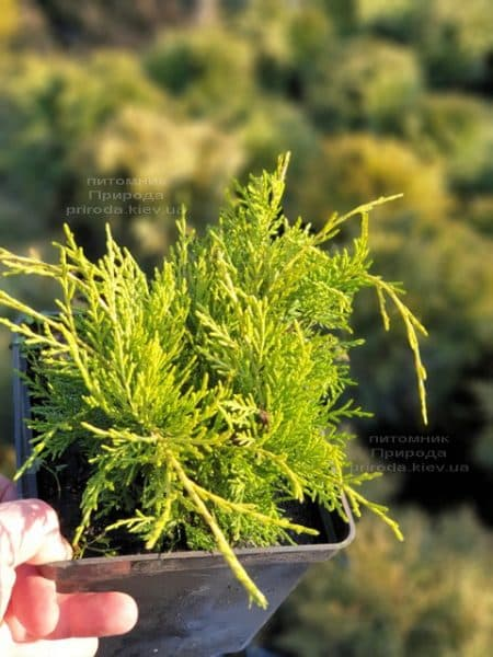 Можжевельник средний (пфитцериана) Голден Джой (Juniperus Golden Joy) ФОТО Питомник растений Природа (5)
