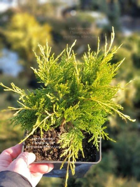 Можжевельник средний (пфитцериана) Голден Джой (Juniperus Golden Joy) ФОТО Питомник растений Природа (6)