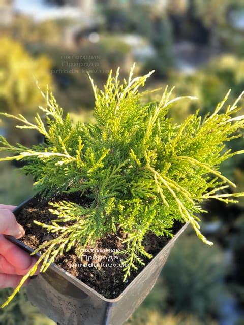 Можжевельник средний (пфитцериана) Голден Джой (Juniperus Golden Joy) ФОТО Питомник растений Природа (7)