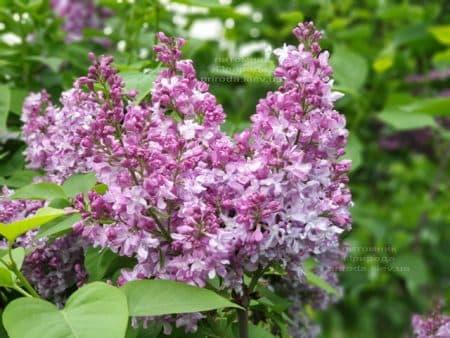 Сирень Эмиль Лемуан (Syringa vulgaris Emilie Lemoine) ФОТО Питомник растений Природа (10)