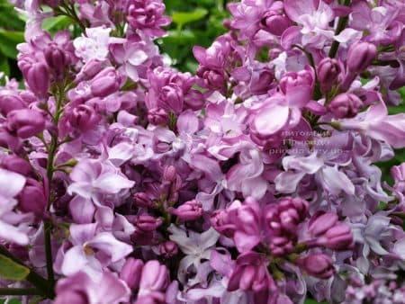 Сирень Эмиль Лемуан (Syringa vulgaris Emilie Lemoine) ФОТО Питомник растений Природа (11)