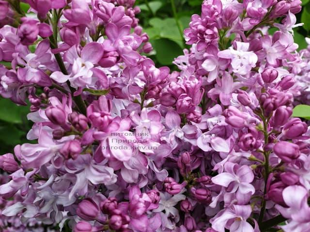 Сирень Эмиль Лемуан (Syringa vulgaris Emilie Lemoine) ФОТО Питомник растений Природа (12)