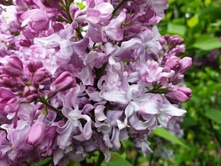 Сирень Эмиль Лемуан (Syringa vulgaris Emilie Lemoine) ФОТО Питомник растений Природа (13)