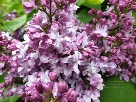 Сирень Эмиль Лемуан (Syringa vulgaris Emilie Lemoine) ФОТО Питомник растений Природа (14)